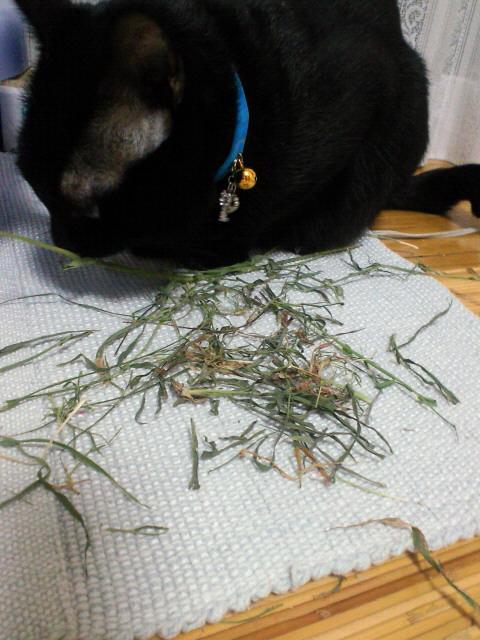 干し草を食べる猫